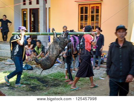 Men Carry Slaughtered Pig Tied On Bamboo Beam In Tana Toraja