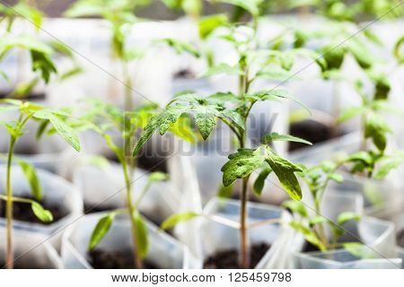 Green Sprouts Of Tomato Plant In Plastic Tubes