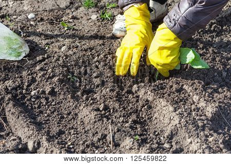 Farmer Planting Seedlings Of Cabbage
