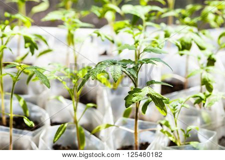 Green Seedlings Of Tomato Plant In Plastic Tubes