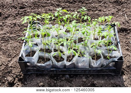 Box With Young Green Shoots Of Tomato Plant