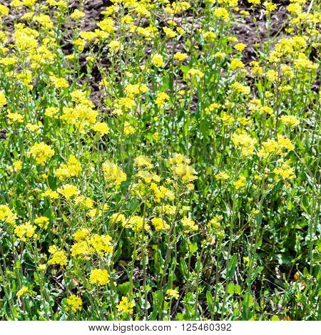 Yellow Blooms Of Rapeseed