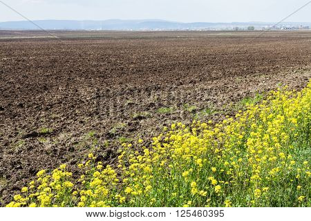 Plowed Field And Yellow Flowers Of Rapeseed