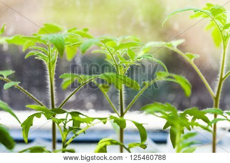 Sprouts Of Tomato Plant On Window Sill