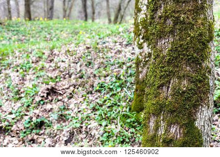 Poplar Trees Covered By Moss And Young Green Grass