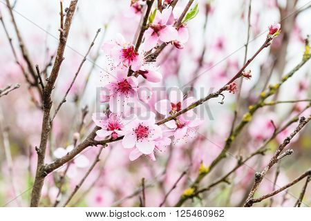 Peach Flowers On Tree Twigs