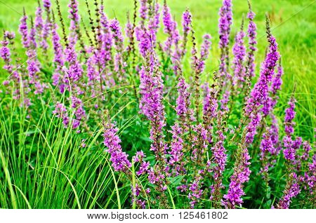 Long spike inflorescence pink wildflowers Lythrum salicaria on a background of green grass