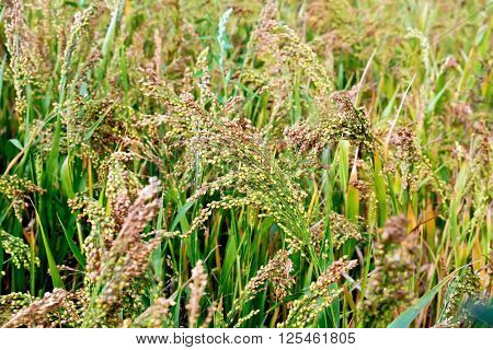 Maturing broom millet spikes in the field against a background of green leaves