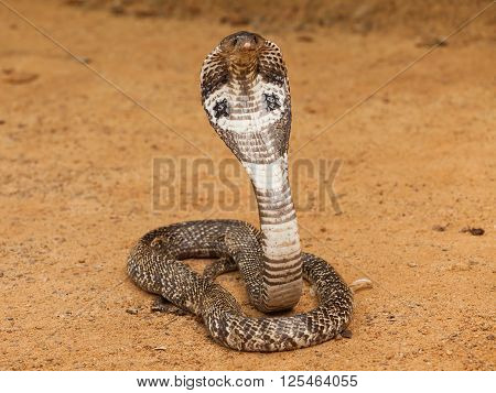 Cobra with hood up in defensive posture, South East Asia