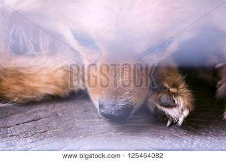 Abstract Animal Background,close Up Pity Brown Pomeranian