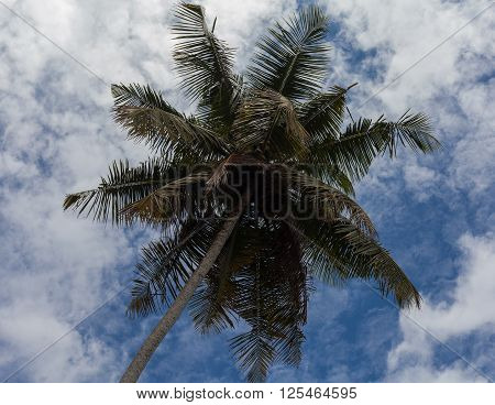 Coconuts on the palm tree in Srilanka