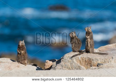 Three Quirreles Standing On Rocks By Ocean