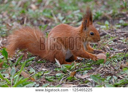 close up of squirrel taking walnut from ground