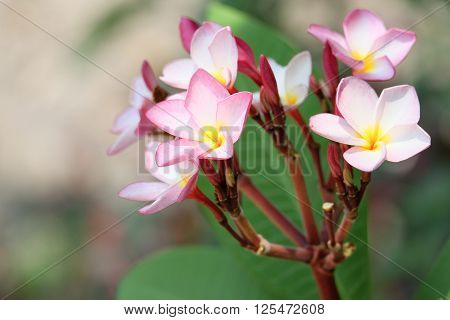 beuatiful several blossom of pink plumeria in thailand