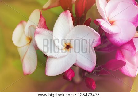 Touching Spring Blossom With Frangipani White Pink Flower Bunch On Fresh Cheerful Mood