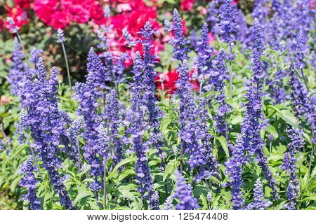Blue Salvia or salvia farinacea flowers blooming in the garden