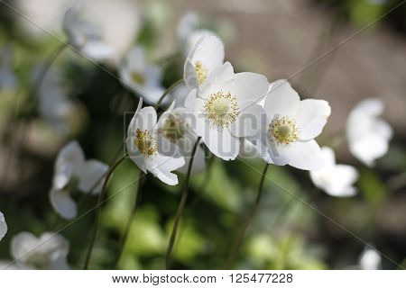 Beautiful cuckoo flowers on a green glade