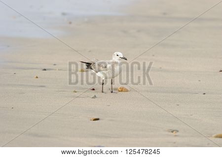 Seagull is a beautiful healthy looking Seagull standing on the beach among the colorful rocks.