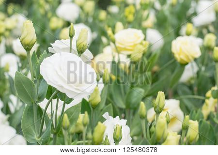 Beautiful white rose in a summer garden.White rose in the garden.