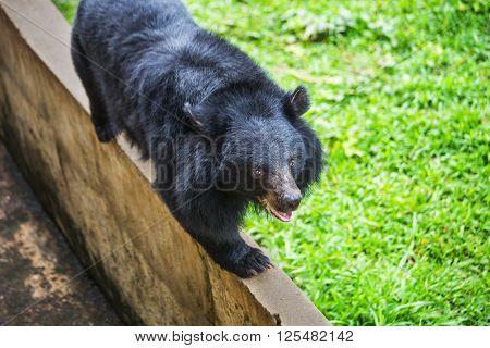 Asiatic black bear Tibetan black bear Ursus thibetanus large tropical asian bear with black fur and white V shape fur on the bust
