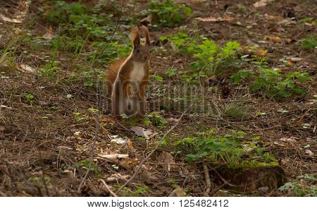 Squirrel red in spring forest on background wild nature animal thematic. Clouseup