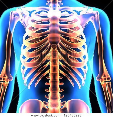 3D illustration The human skeleton is the internal framework of the body. It is composed of 270 bones at birth - this total decreases to 206 bones by adulthood after some bones have fused together.