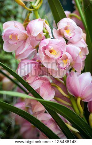 Pink cymbidium orchid flower in the garden