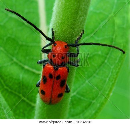 Bight Red Milkweed Beetle