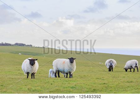 Many Sheeps On The Farm