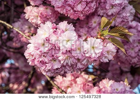 Cherry blossom is the flower of any of several trees of genus Prunus particularly the Japanese cherry Prunus serrulata which is called sakura.