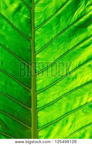 Caladium leaf green elephant ear leaf plant