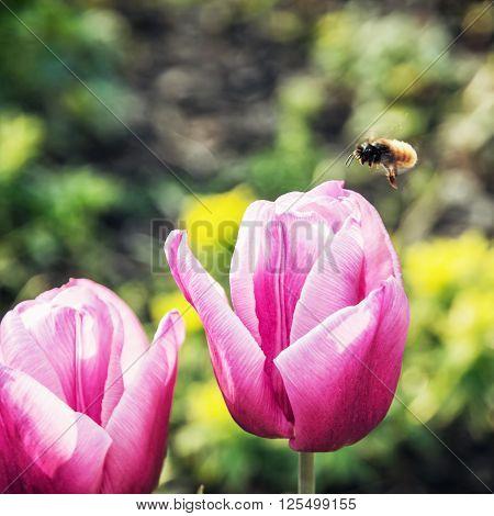 Bumble-bee and beautiful pink tulips. Seasonal natural scene.