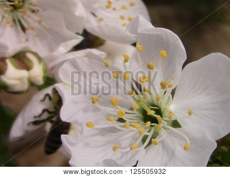 Cherry blossom in spring