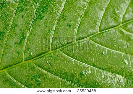 A macro shot of a green chestnut tree leaf