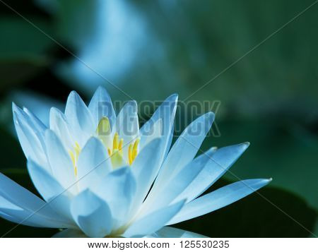 Lotus flower blooming on a quiet pond. Focus on stamen.