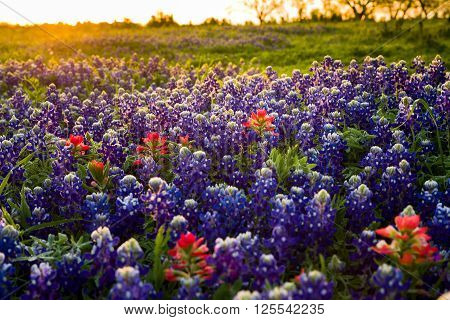 Vivid bluebonnets and Indian paintbrush wildflowers bathed in early morning light