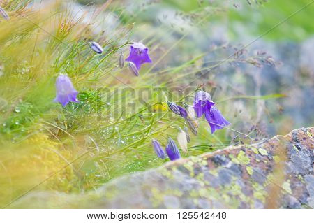 Spring bellflower in mountain. Campanula closeup view.