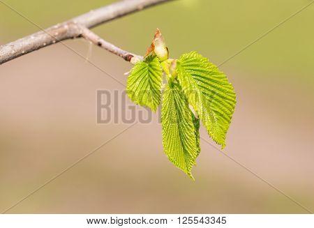 Carpinus Betulus Leaves