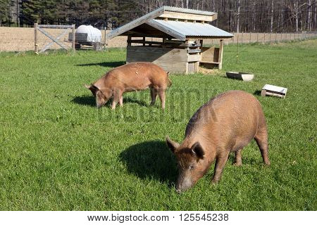 Organically raised free range Tamworth pigs graze on pasture grass on a small farm.