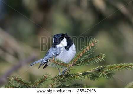 Perching Coal tit (Periparus ater Parus ater) in firry forest. National park Plesheevo Lake Yaroslavl region Russia ** Note: Soft Focus at 100%, best at smaller sizes