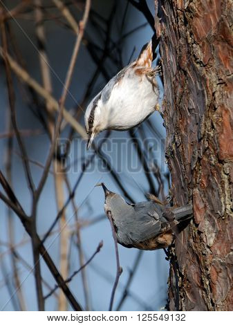 Male Eurasian Nuthatch (Sitta europaea) feeds female in spring. National park Plesheevo Lake Yaroslavl region Russia