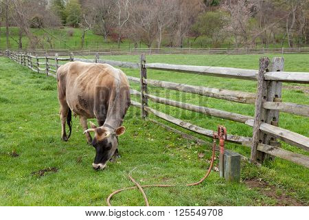 Cow Grazing In Farmyard