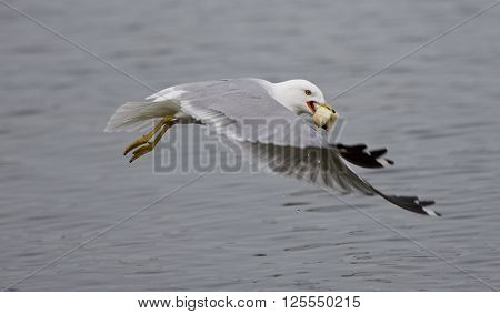 Beautiful picture with the gull flying from the water of the lake with food