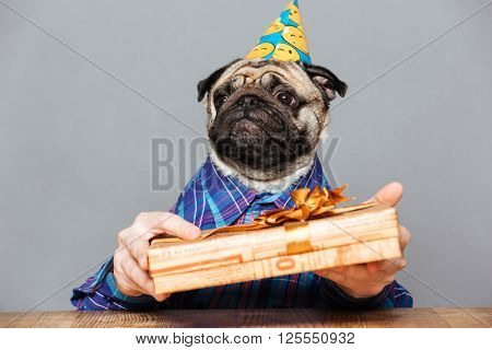 Sad man with pug dog head in birthday hat with gift box over grey background
