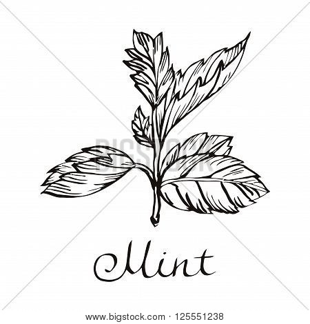 Vector mint illustration. Hand drawn mint. Mint leaves illustration.