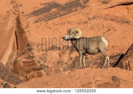 a desert bighorn sheep ram in red rocks