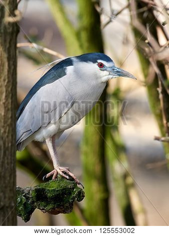 Black-crowned night heron (Nycticorax nycticorax) resting on a branch in its habitat