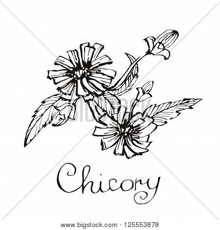 Chicory flowers. Hand drawn botanical vector illustration