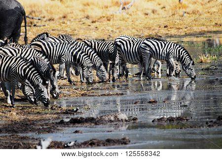 Zebras in the savannah of Etosha National Park