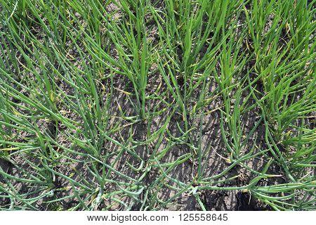 planting green onion on the farm plantation